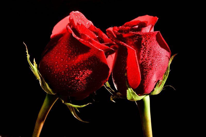 Mộng thấy hoa hồng đánh con gì?