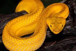 Mộng thấy rắn vàng đánh đề con gì?