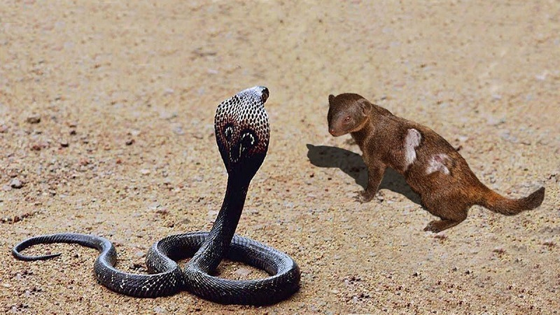 Nằm mơ thấy rắn hổ mang đánh đề con gì? Rắn hổ mang là số mấy?