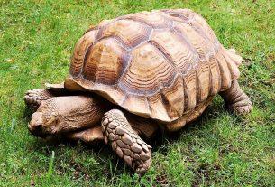 Nằm mơ thấy rùa đánh đề con gì? Rùa là số mấy?