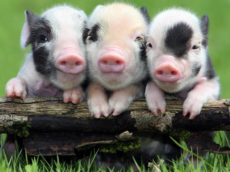 Giải mã giấc mơ thấy đàn lợn con 1